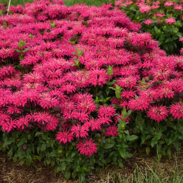 Monarda 'Leading Lady Razzberry' Bee Balm