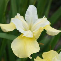 Iris 'Butter and Sugar'