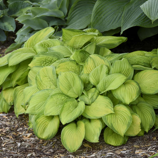 Hosta 'Stained Glass' Hosta
