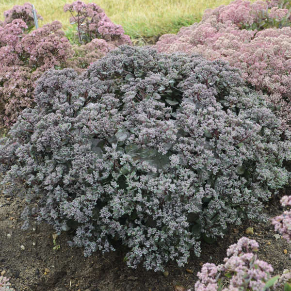 Sedum 'Superstar' Stonecrop