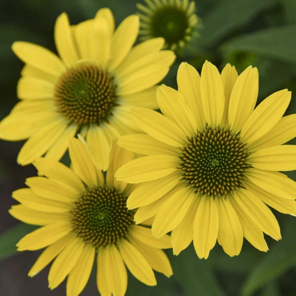 Echinacea 'Canary Feathers' Coneflower