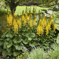Ligularia 'Bottle Rocket'