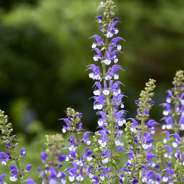 Salvia 'Azure Snow' Perennial Salvia