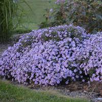 Aster KICKIN&#174 'Lavender'