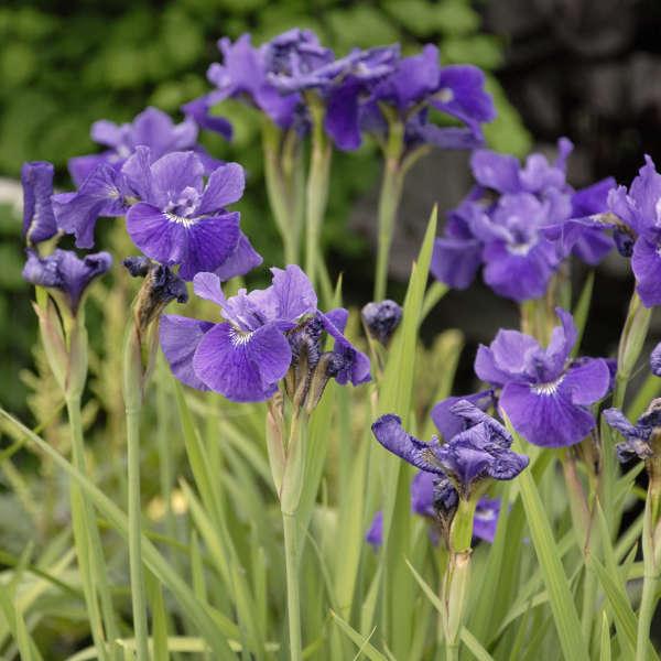 Iris 'Ruffled Velvet' Siberian Iris