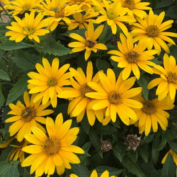 Heliopsis TUSCAN GOLD&#8482 False Sunflower