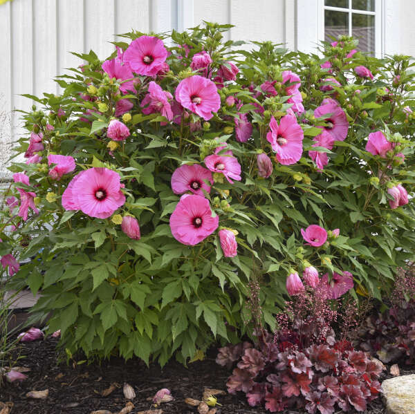 Hibiscus 'Candy Crush' Rose Mallow