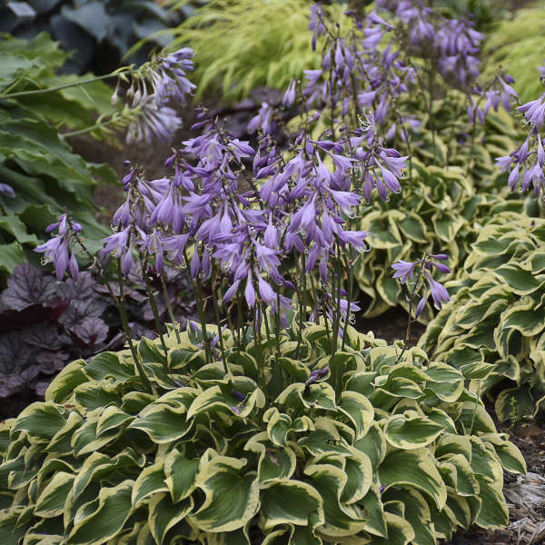 Hosta 'Wrinkle in Time' Hosta