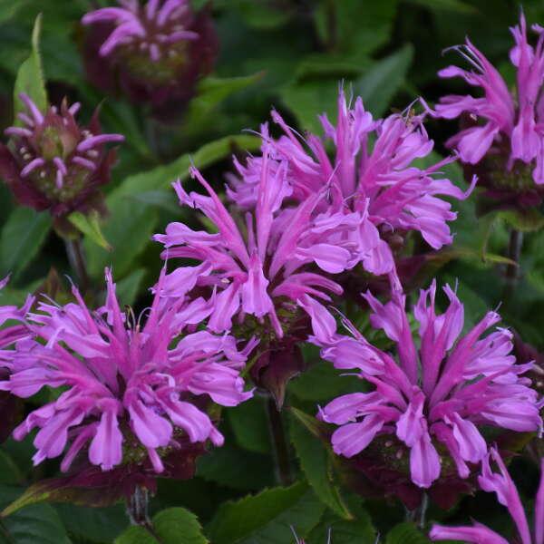 Monarda 'Pardon My Lavender II' Bee Balm
