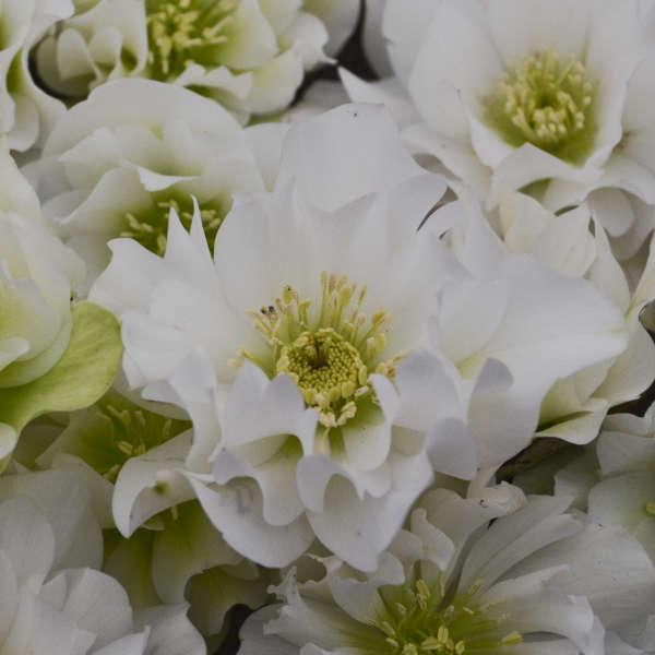 Helleborus 'Wedding Bells' Lenten Rose