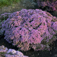 Sedum 'Pride and Joy'