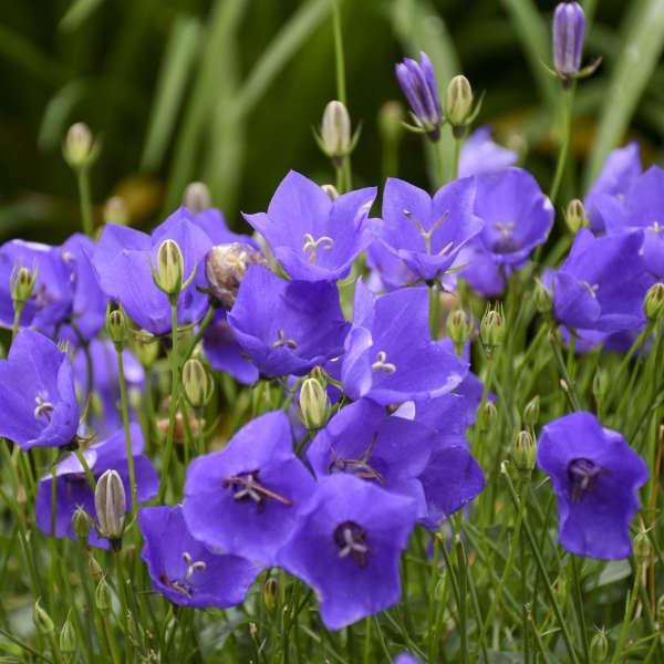 Campanula 'Violet Teacups' Carpathian Bellflower