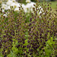Baptisia 'Dark Chocolate'