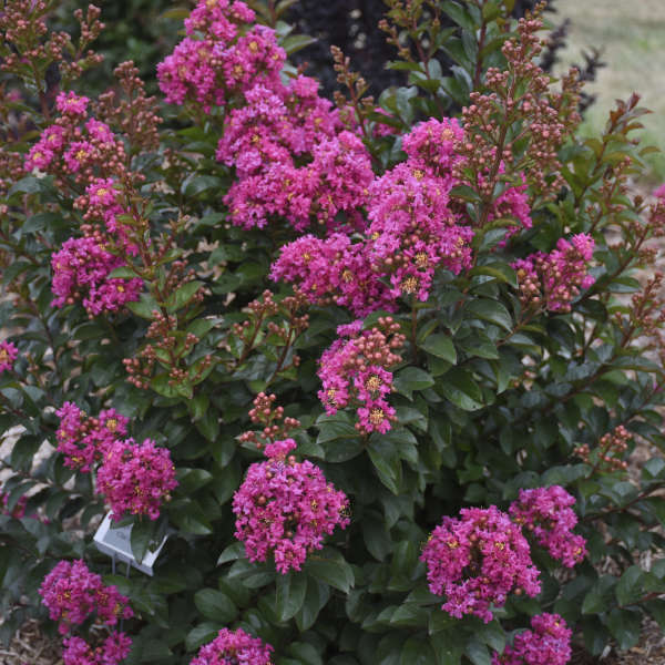 Lagerstroemia 'Chai Berry' Crapemyrtle