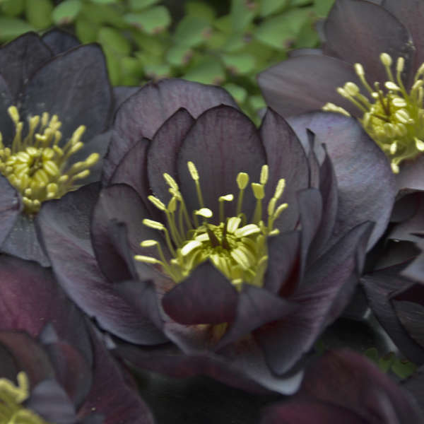 Helleborus 'Dark and Handsome' Lenten Rose