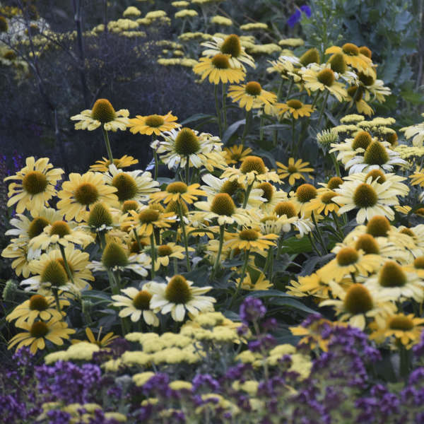 Echinacea 'Yellow My Darling' Coneflower