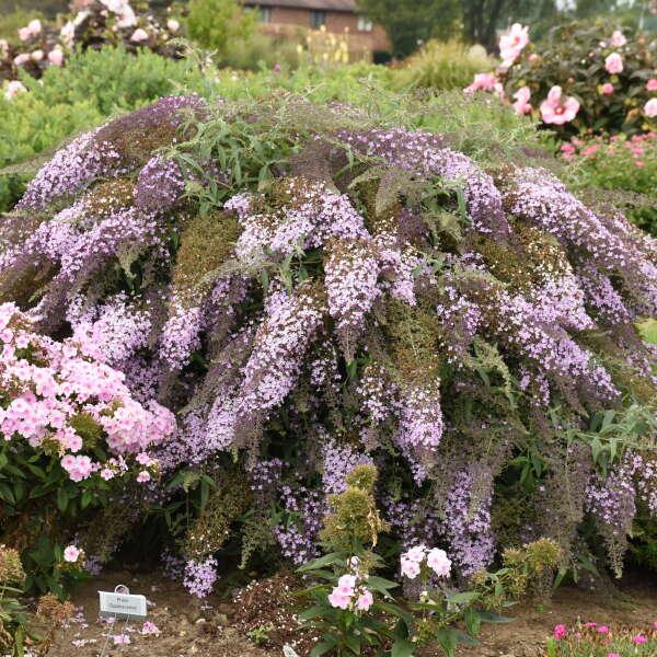 Buddleia 'Lavender Cascade' Butterfly Bush