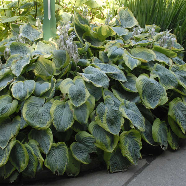Hosta 'Frances Williams' Hosta