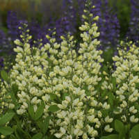 Baptisia 'Vanilla Cream'