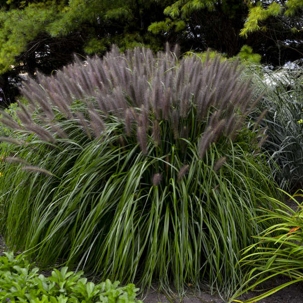 Pennisetum alopecuroides 39 red head 39 walters gardens inc for Fountain grass varieties