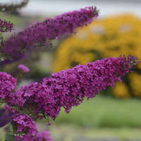 Buddleia 'Queen of Hearts'