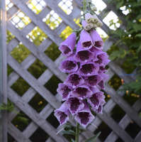 Digitalis 'Sugar Plum'