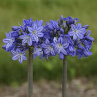Agapanthus 'Galaxy Blue'