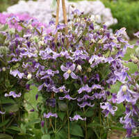 Clematis 'Stand by Me Lavender'