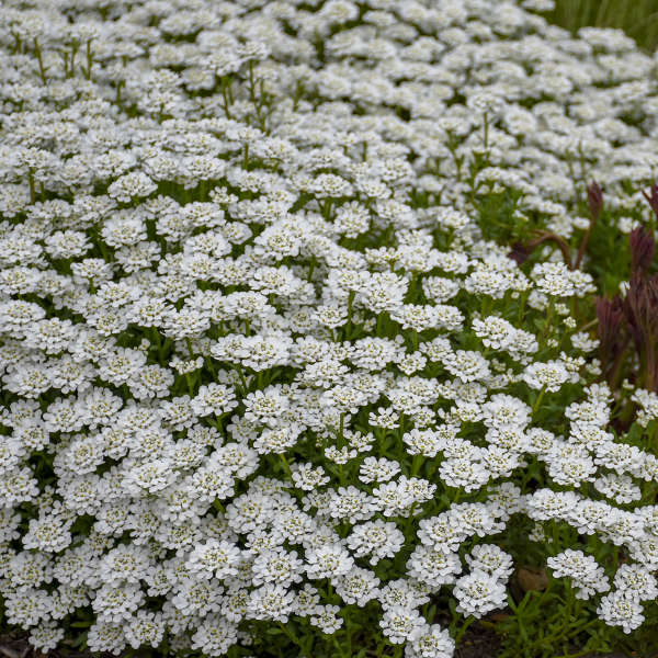 Iberis 'Alexander's White' Evergreen Candytuft
