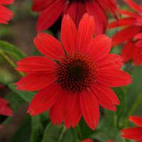 Echinacea SOMBRERO® SALSA RED