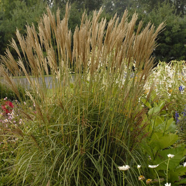 Miscanthus 'Nippon' Ornamental Grass