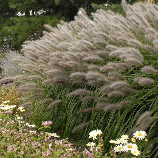 Pennisetum 'Red Head' Fountain Grass