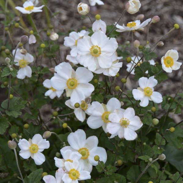 Anemone 'Honorine Jobert' Japanese Anemone