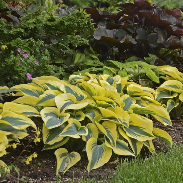 Hosta 'Autumn Frost' Hosta
