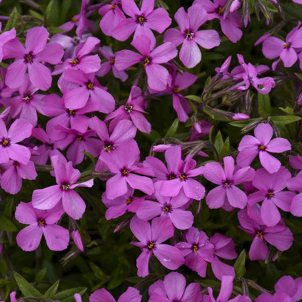 Phlox 'Magenta Sprite' Hybrid Spring Phlox