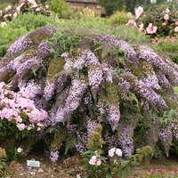 Buddleia 'Lavender Cascade'