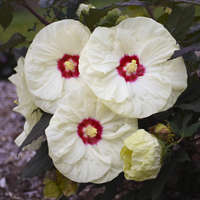 Hibiscus 'French Vanilla'