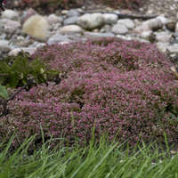 Sedum 'Steel the Show'