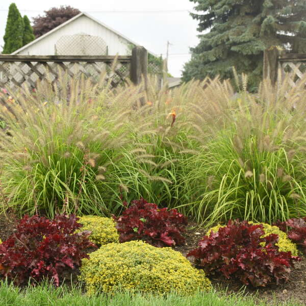 Pennisetum 'Lemon Squeeze' Fountain Grass