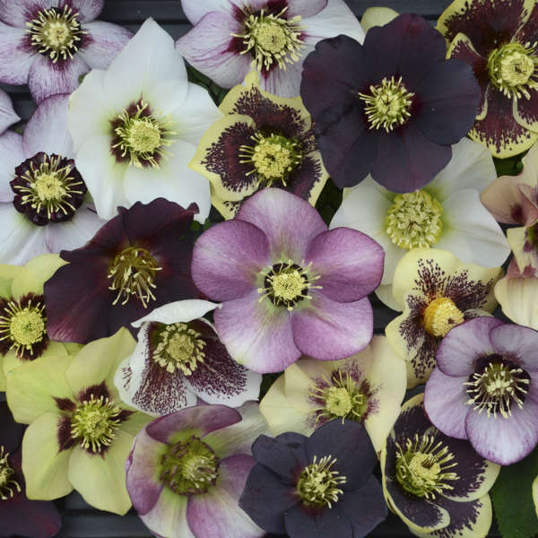 Helleborus HONEYMOON® Series - Mixed Lenten Rose