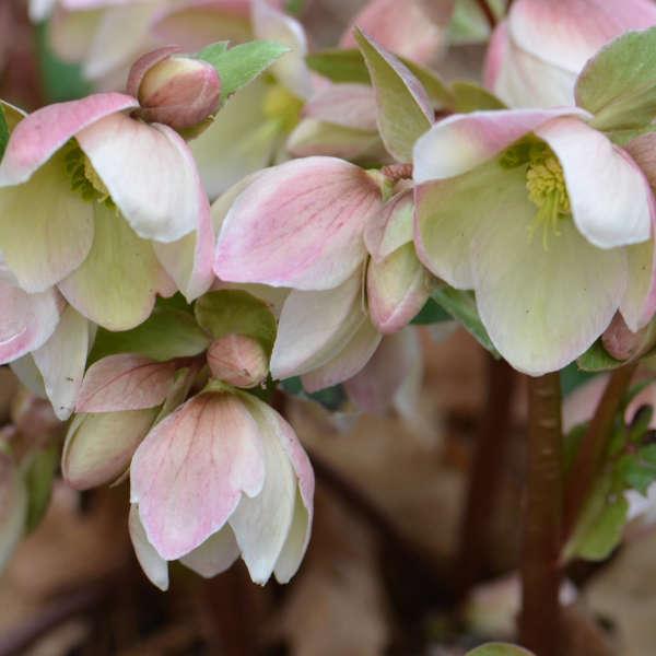 Helleborus IVORY PRINCE Lenten Rose