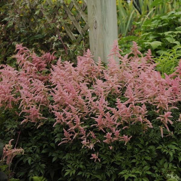 Astilbe 'Bressingham Beauty' Hybrid Astilbe