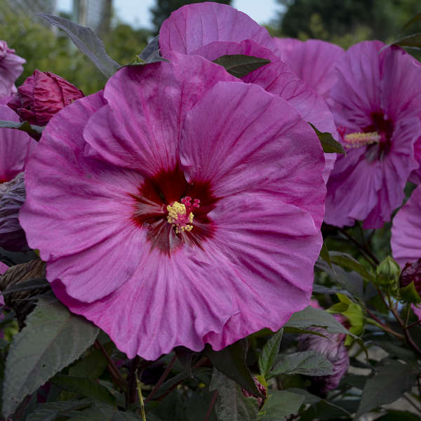 Hibiscus 'Berry Awesome' PP27936 CPBR5647 | Walters Gardens, Inc