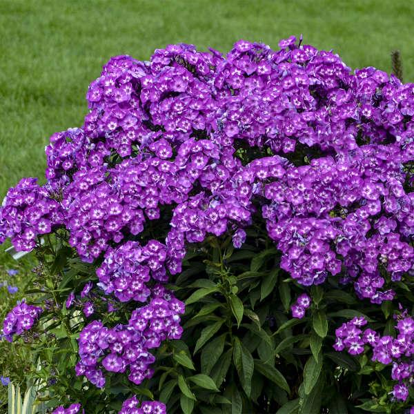 Phlox 'Laura' Tall Garden Phlox
