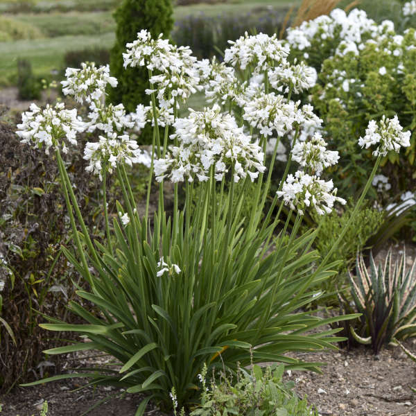 Agapanthus 'Galaxy White' Lily of the Nile