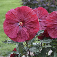 Hibiscus 'Blackberry Merlot'