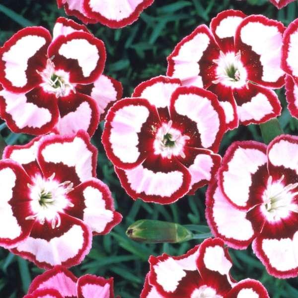 Dianthus RASPBERRY SWIRL Pinks