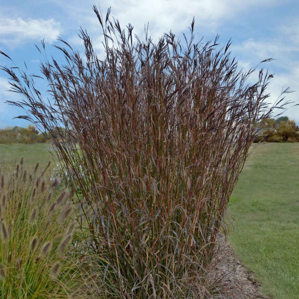 Andropogon gerardii 39 indian warrior 39 pp24999 walters for Ornamental grasses 3 ft tall