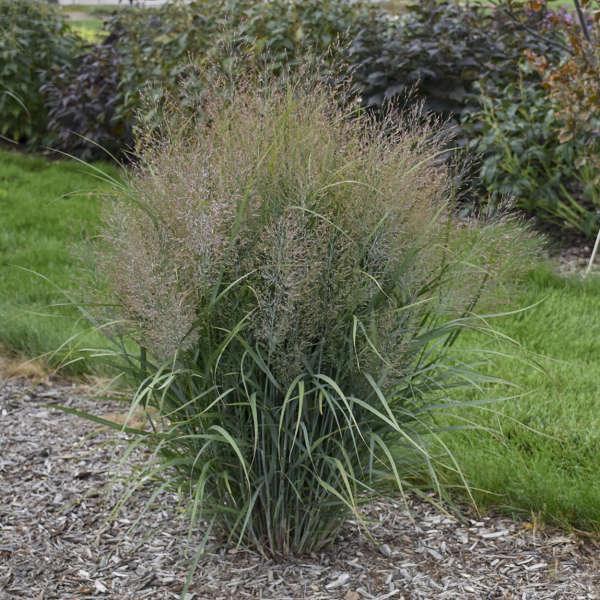 Panicum 'Gunsmoke' Switch Grass