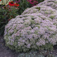 Sedum 'Pure Joy'
